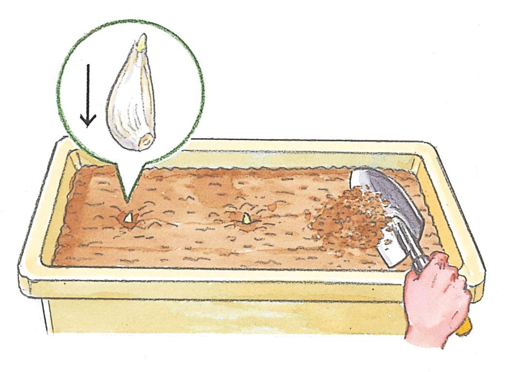 にんにく片を植える