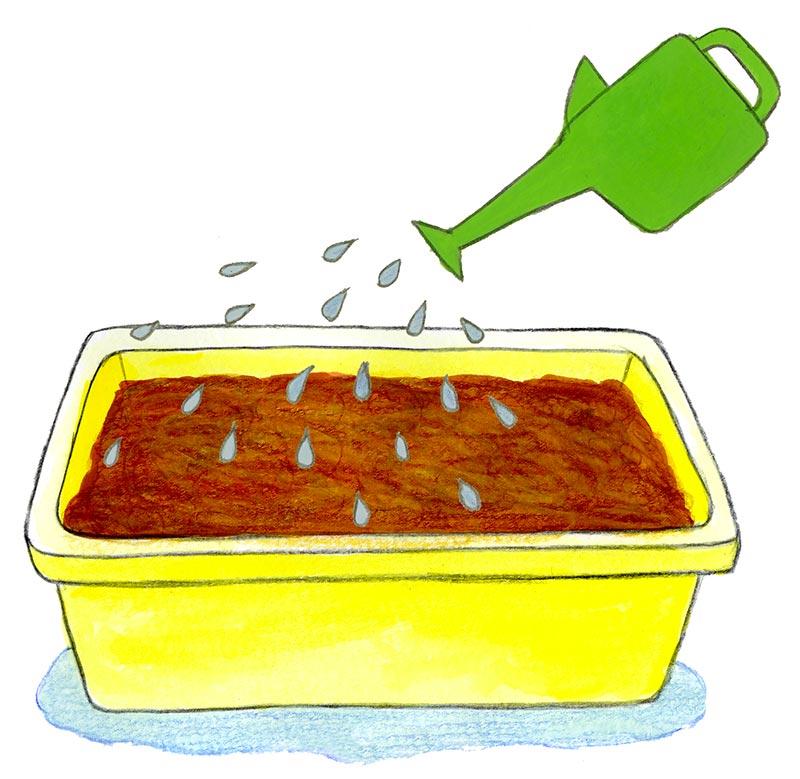 鉢底から流れるくらいたっぷり水やりをする。以後、収穫まで土の表面が乾いたら水やりを行う。