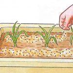 植え付け1力月後と、冬を越した際にぼかし肥をひとつまみ与えます。